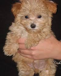 maltese poodle for sale