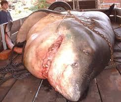 biggest great white sharks