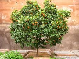 orange tree photos