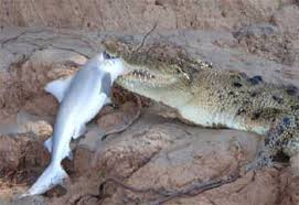 croc eating shark