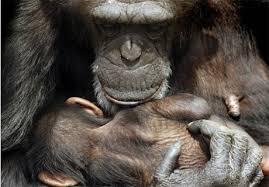 human chimpanzee hybrid