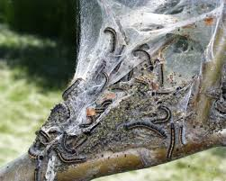 eastern tent caterpillars