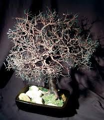 oak bonsai tree