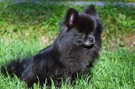 black pomeranian dogs