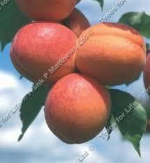 apricots tree