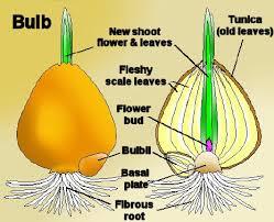 bulb growing