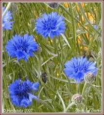 cornflower plants