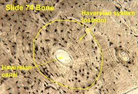 bone connective tissue