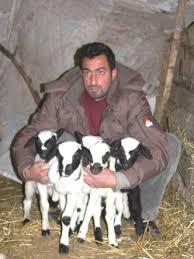 koyun cinsleri