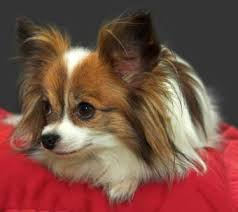 Papillon Dogs Pictures