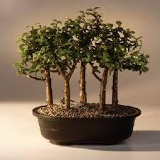 jade trees