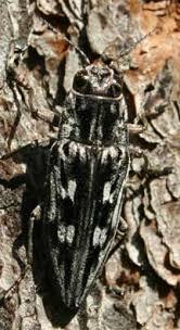 pine bore beetle