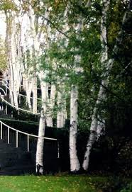 clump birch
