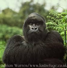 gorilla pics