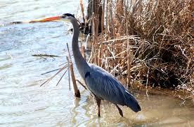 blue herring bird