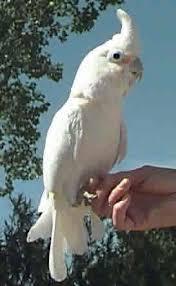 cockatoo goffin