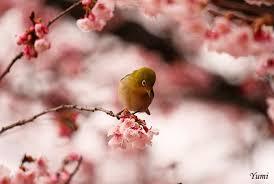 cherry blossoms china