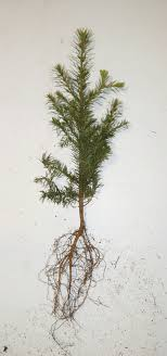 fir tree seedling