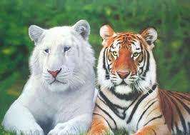 bengal tigers population