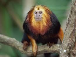 endangered animals in brazil