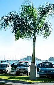 majestic palm tree