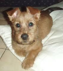 australian terrier pictures
