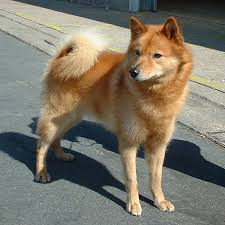 finnish spitz dogs