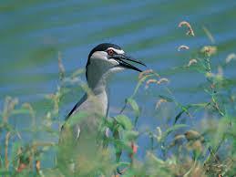 pond birds