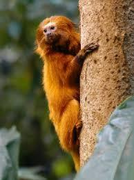 endangered animals monkeys