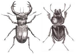 beetle drawings