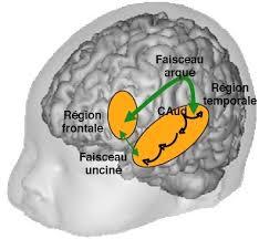 infant brain