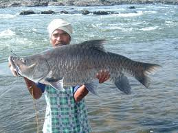 large fresh water fish