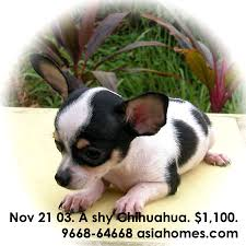 black and white chihuahua puppies