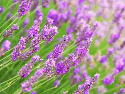 cheap purple flowers