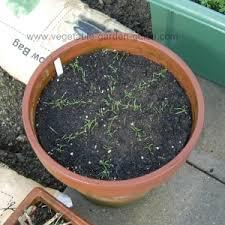 carrot grow