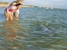 bay shark