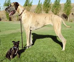 greatdane pictures