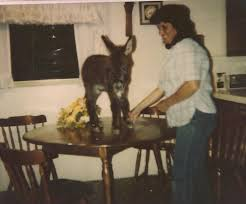 pictures of miniature donkeys