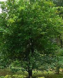 limes tree