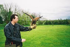 hawk bird of prey
