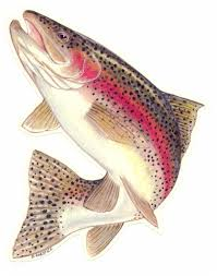 picture of rainbow trout