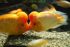 freshwater pet fish