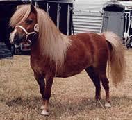 shetland horses
