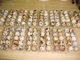 coturnix quail eggs
