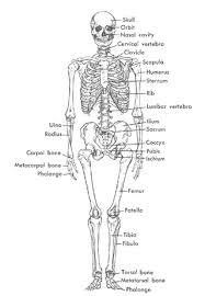 anatomy of human skeleton