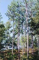 alabama state tree
