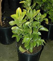 evergreen euonymus