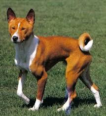 african barkless dog