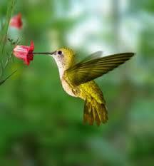 flowers hummingbirds