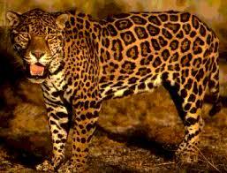 el animal jaguar